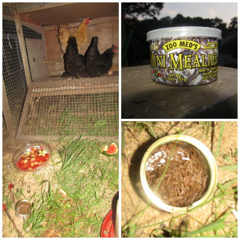 Zoo Med's Mini Mealies