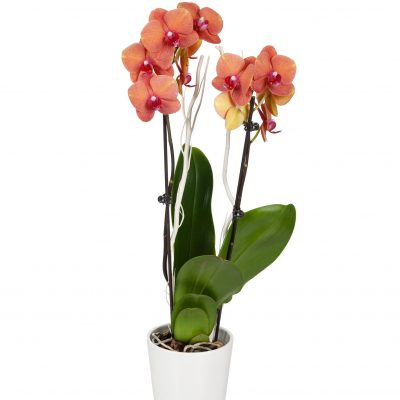 Surprise Mom with Just Add Ice Orchids